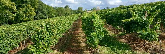 vigne_cognac